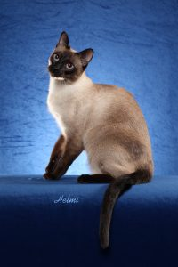 Siamese kittens for sale - Old-Style Siamese/Thai